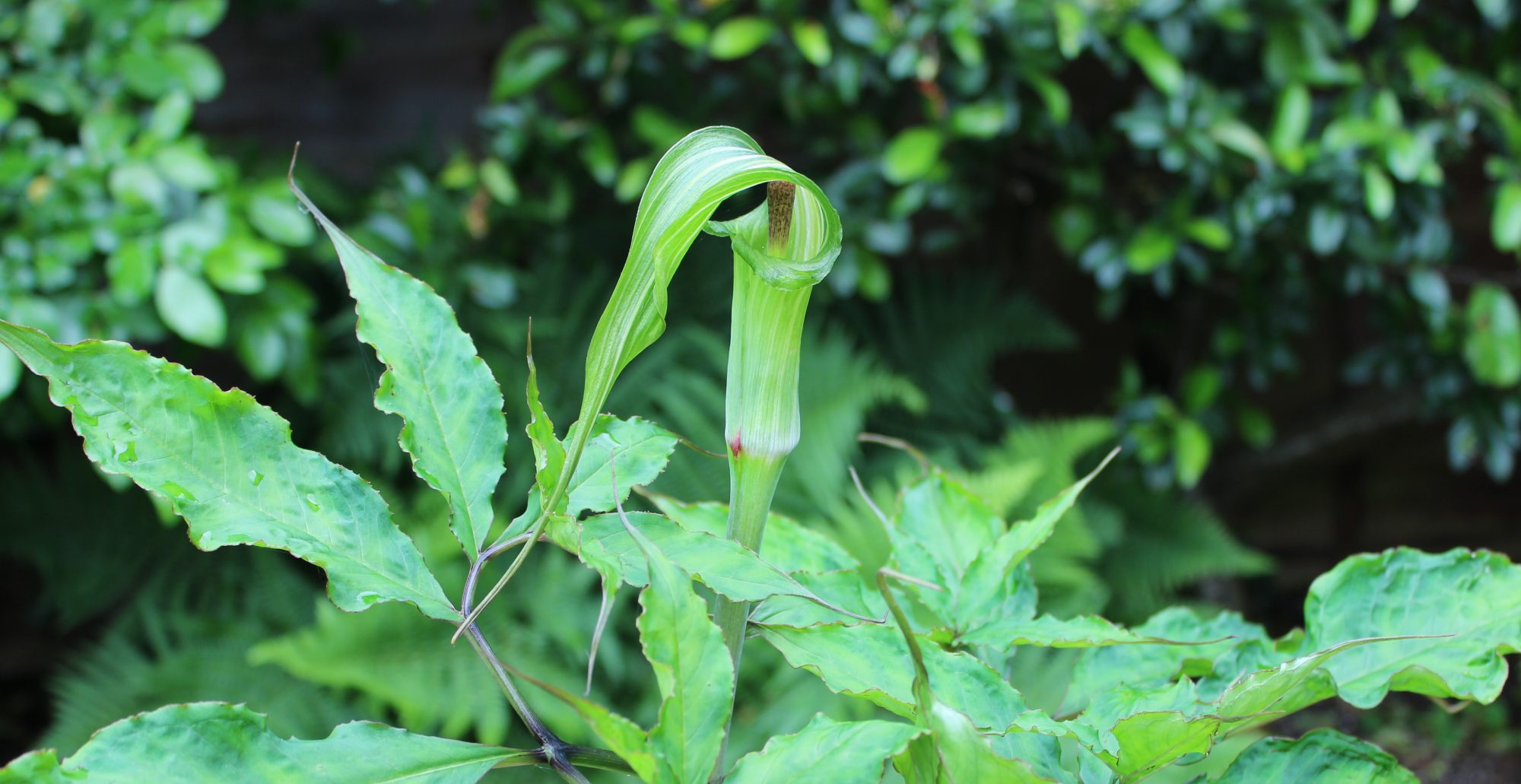 Arisaema Resource